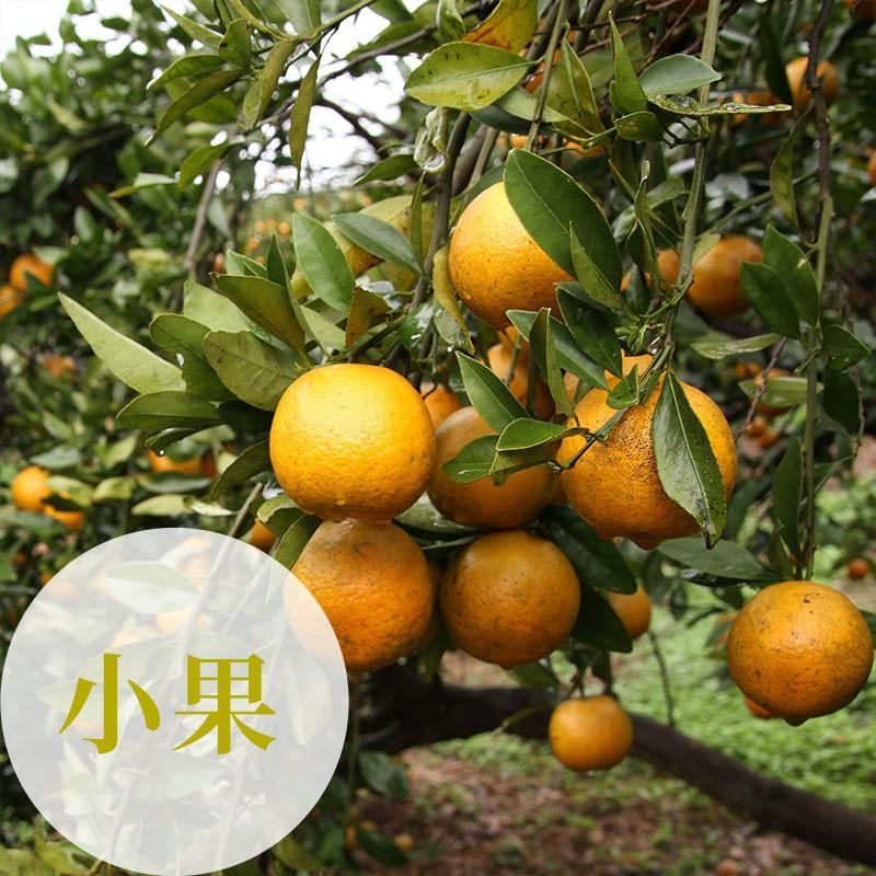 【福珠】新竹峨眉無籽桶柑(小果10台斤裝)