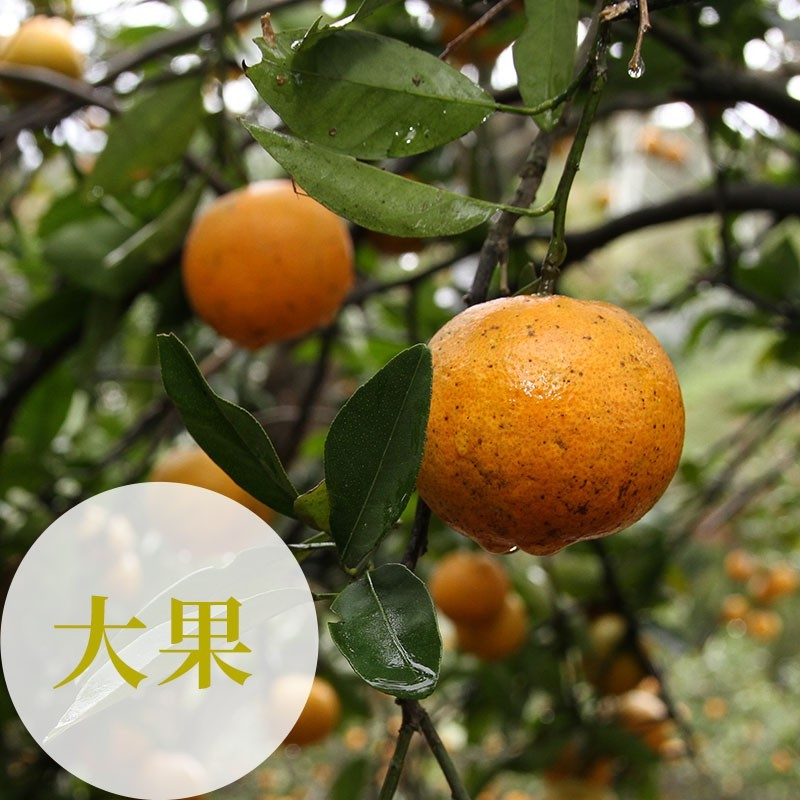 【福珠】新竹峨眉無籽桶柑(大果10台斤裝)