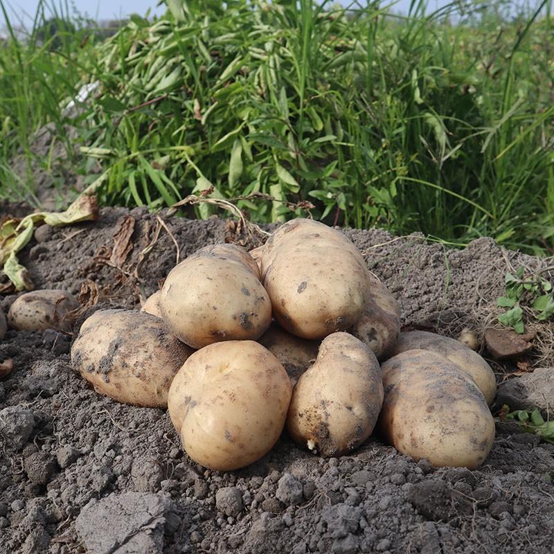 在地生產的馬鈴薯