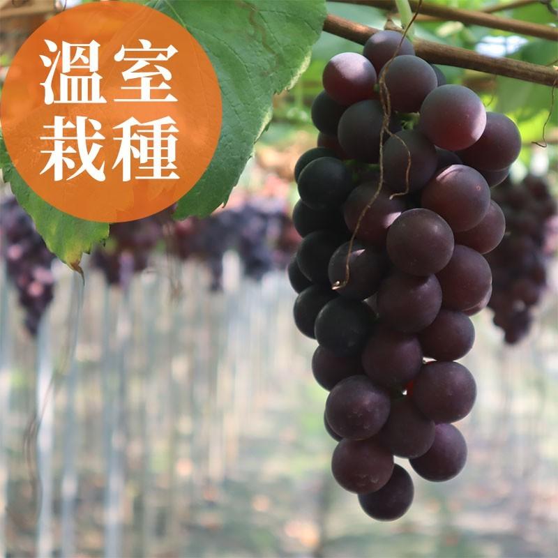 【夏韻玉珠】溫室栽種-巨峰葡萄(3台斤裝)