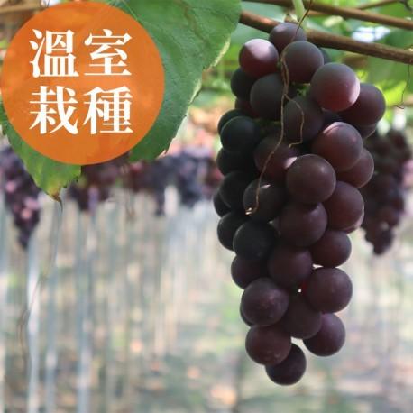 夏韻玉珠:溫室栽種的巨峰葡萄