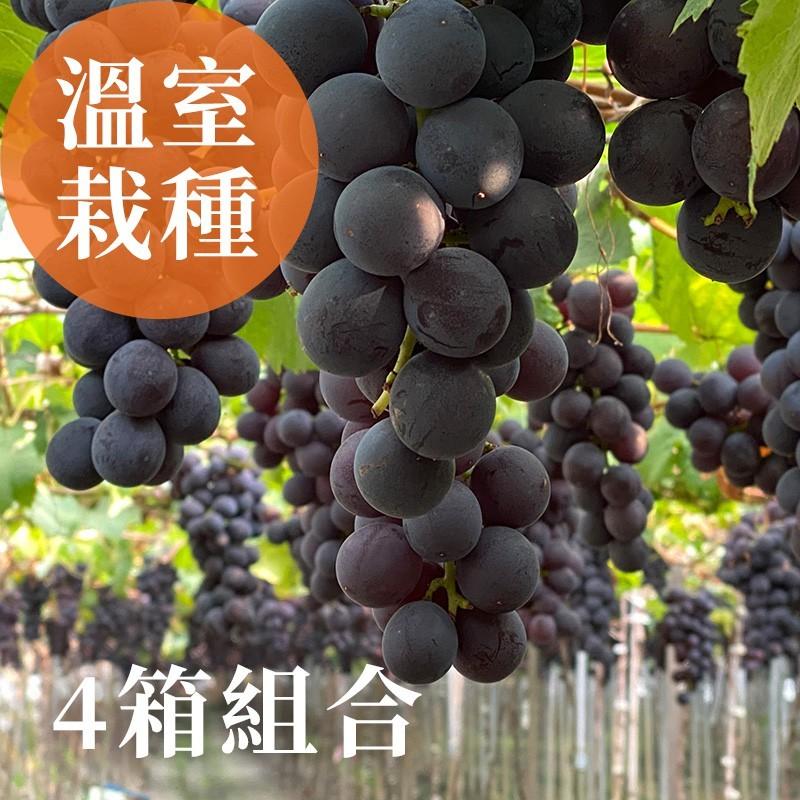 【夏韻玉珠】溫室栽種-巨峰葡萄(3台斤裝)-買3送1-四箱組合優惠