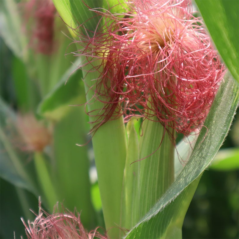七星生態:日本品種-紅鬚玉米筍(6台斤裝)