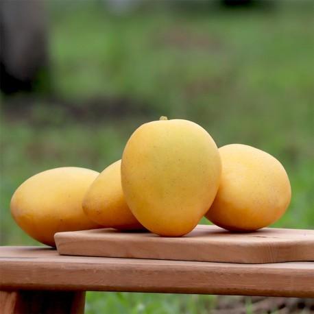 平均甜度可達21度!號稱「甜度最高的芒果」