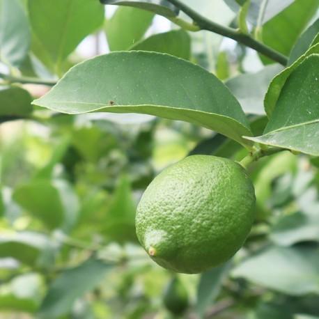 誠檸檬:屏東高樹友善耕作四季檸檬(5台斤)
