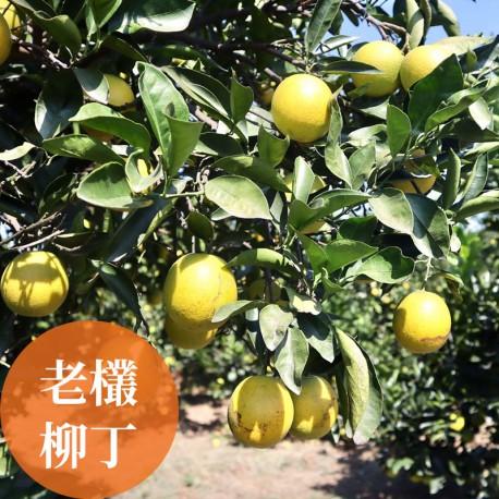 濃橙柳丁:雲林斗六樹齡25年以上老欉柳丁
