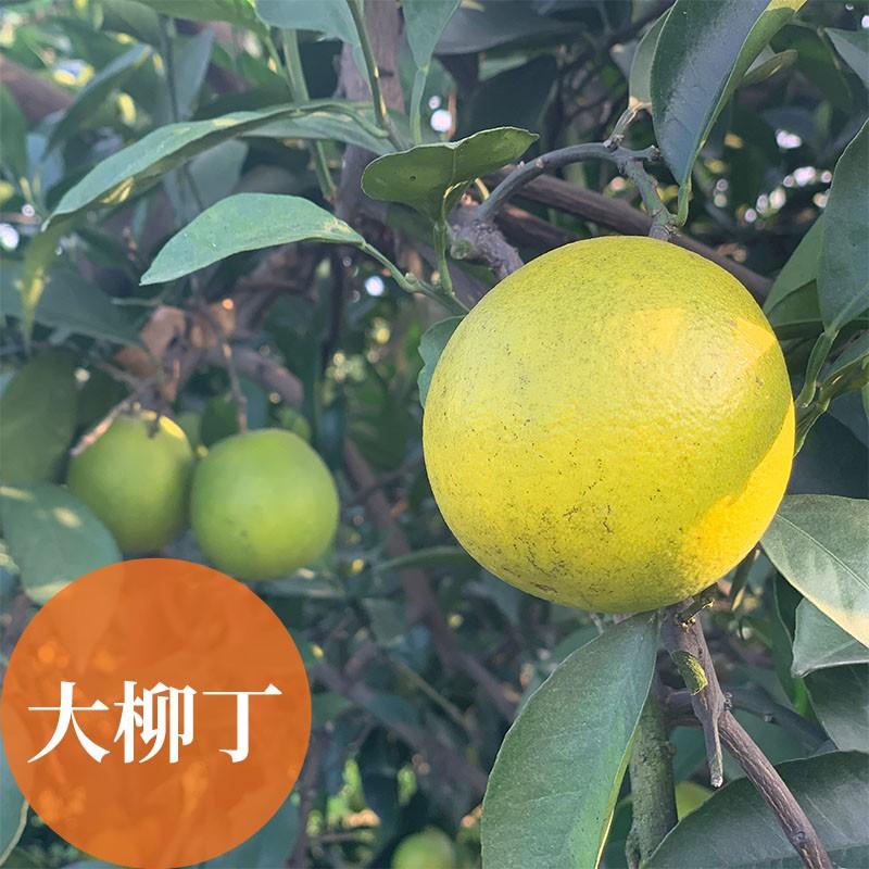 濃橙柳丁:雲林斗六友善耕作柳丁