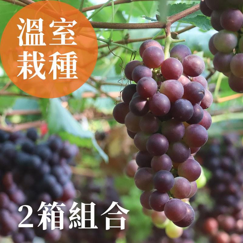 【夏韻玉珠】溫室栽種-巨峰葡萄(2箱組合)