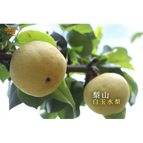 梨山果園白玉水梨