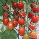 雲林斗六-熊蜂玉女小番茄