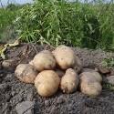 雲林斗南-綿密馬鈴薯