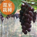 彰化溪湖-夏韻玉珠巨峰葡萄
