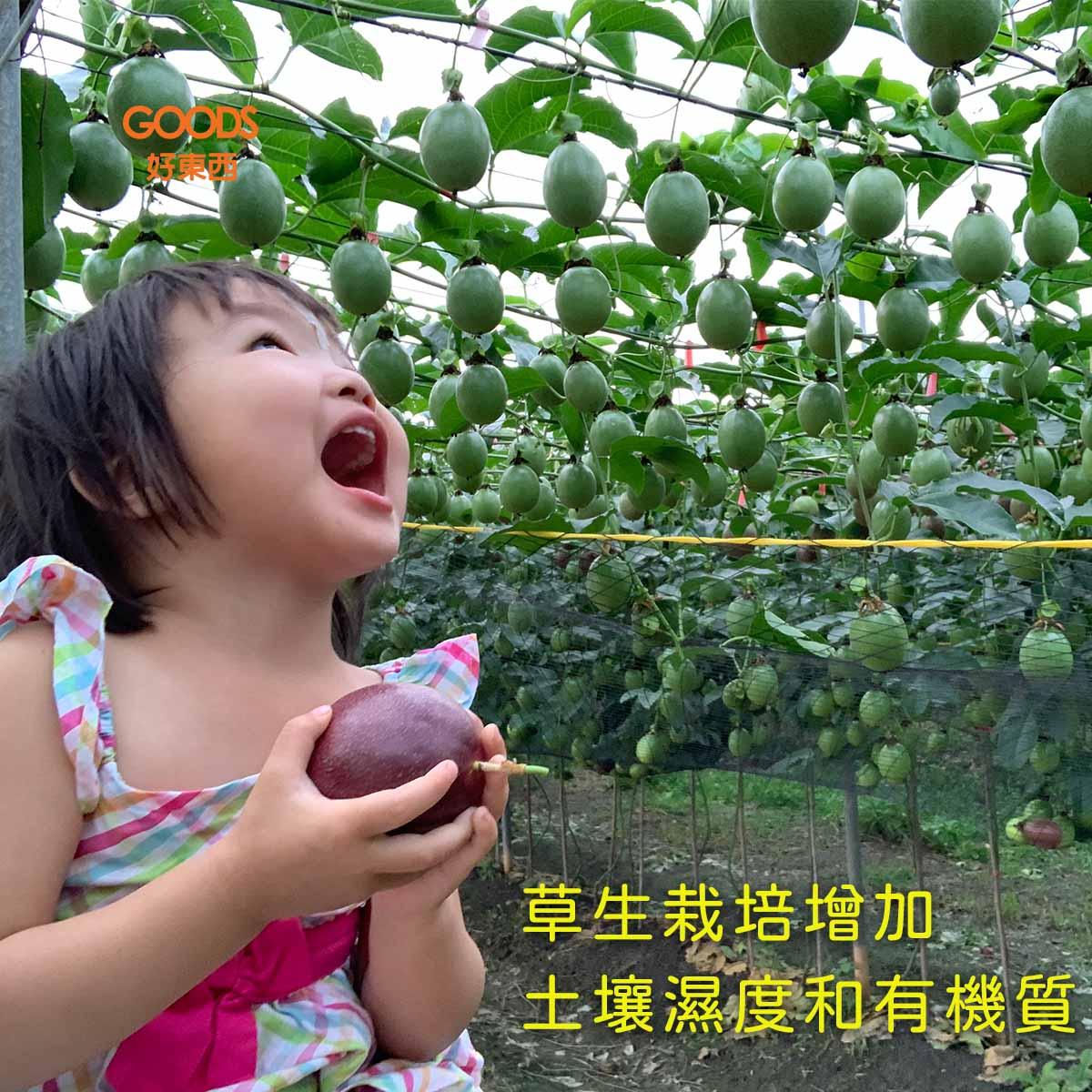 草生栽培的春天百香果